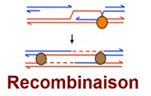 An advance in the understanding of exchanges between DNA molecules during recombination