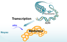 Transcription regulation by the Mediator: recent progress