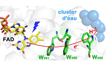 A trick of nature: a water cluster makes the activation of a DNA photolyase more efficient