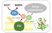 A ferredoxin to fuel metabolic pathways of biotechnological interest