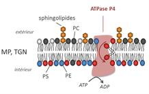 Molecular mechanism of membrane transport processes